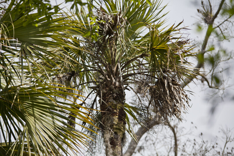 Top of a Sabal Palm Near the  Big Cypress Bend Boardwalk