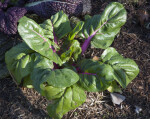 Top of a Swiss Chard Plant with Purple Stalks