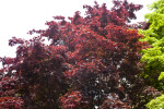 Top of Japanese Maple Tree