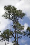 Top of Pine Trees