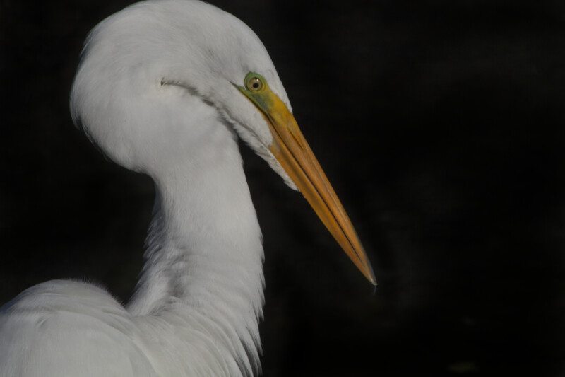 Top Right Side of Great Egret