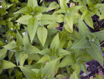Top View of Beebalm Leaves