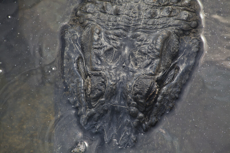 Top View of Head of American Alligator