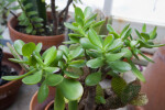 Top View of Jade Plant
