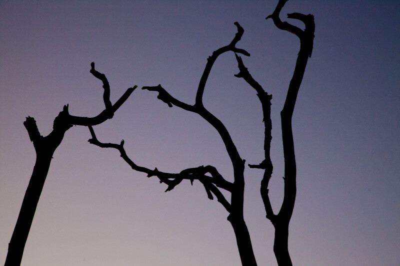 Tops of Branches at Dusk