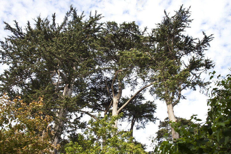 Tops of Coniferous Trees