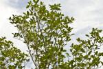 Tops of Mangroves