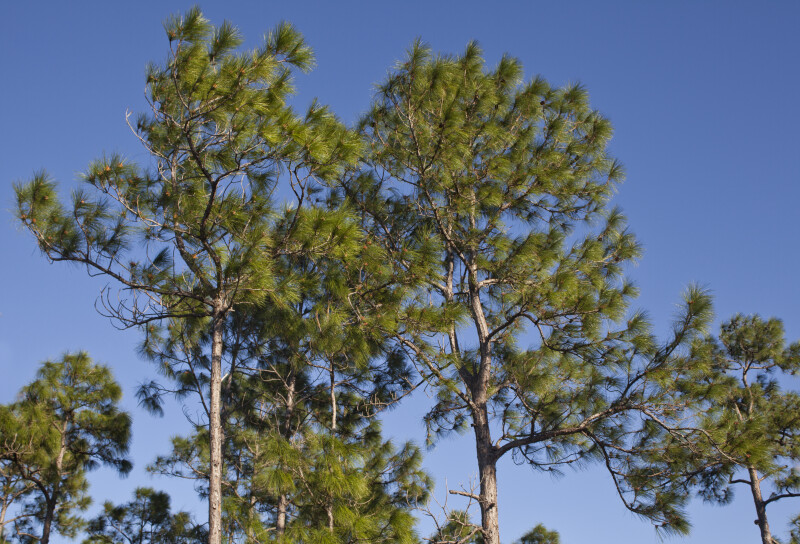 Tops of Pine Trees at the Big Cypress National Preserve