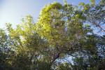 Tops of Trees at Tree Snail Hammock of Big Cypress National Preserve