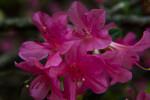 Torch Azalea Flowers