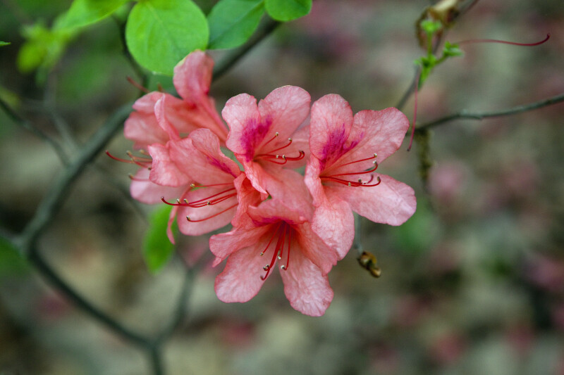 Torch Azalea Flowers