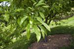 Toringo Crabapple Branch