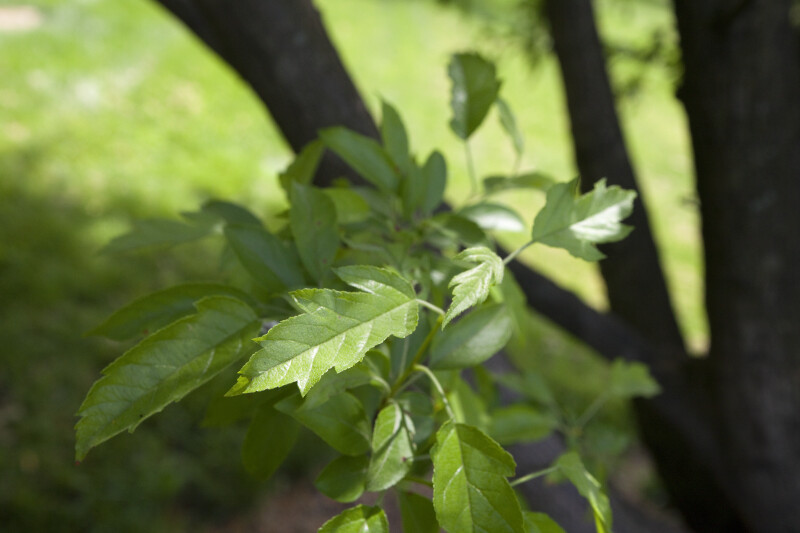 Toringo Crabapple Leaves