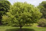 Toringo Crabapple Tree