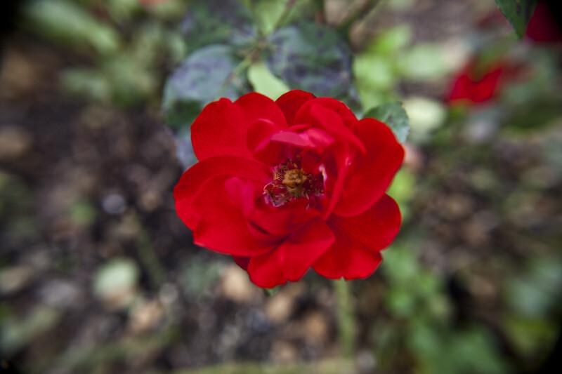 Tornado Floribunda-Rose