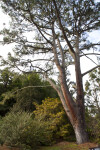 Torrey Pine near Shrubs
