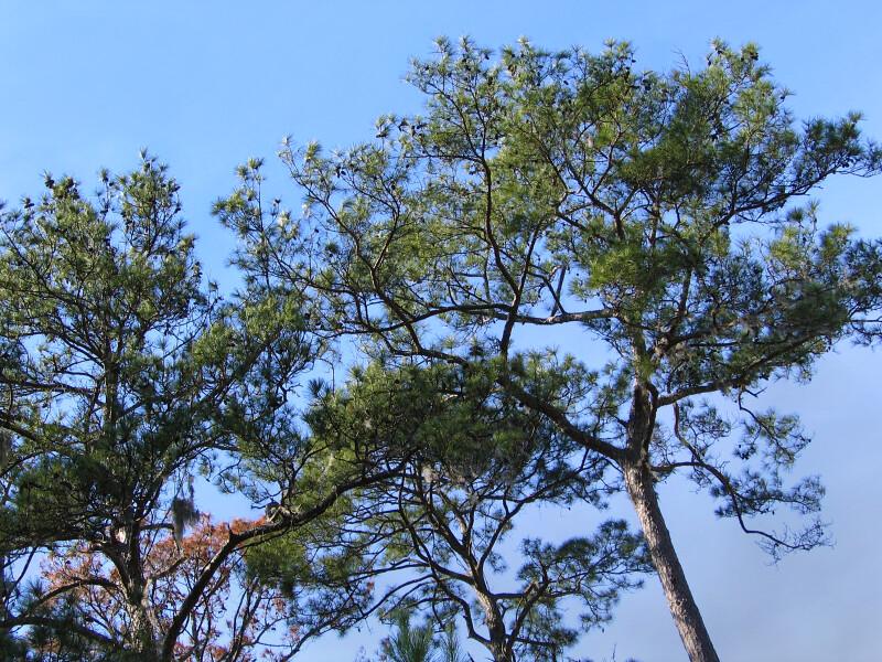 Torreya Trees