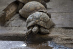 Tortoise Making Way to Water