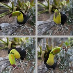 Toucans photographs