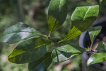 Tough Buckthorn Leaves