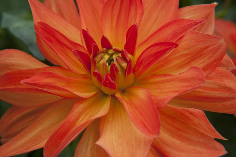 """""""Tour de Monde"""" Dahlia Flower"""