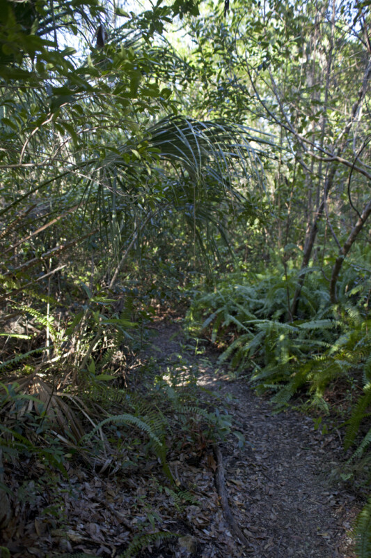 Trail Leading Through Ferns, Cabbage Palms, and Other Trees at Tree Snail Hammock of Big Cypress National Preserve