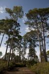 Trail Leading Through Slash Pines