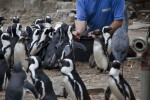 Trainer Feeding Crowd of Penguins