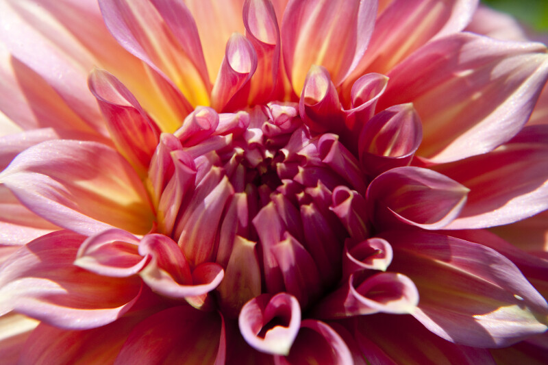 Träumeri' Dahlia Close-Up