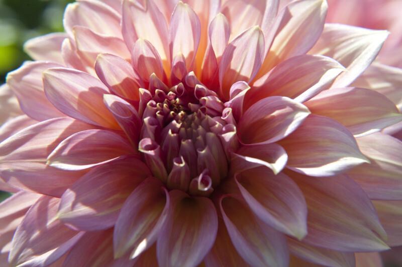 Träumeri' Dahlia Flower