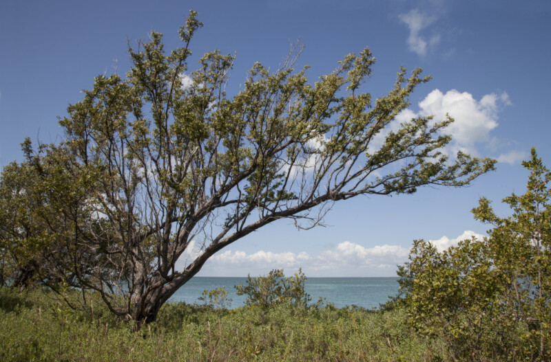 Tree and Low-Lying Shrubs Pictured Against Ocean and Sky