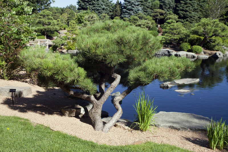 Tree and Water at Japanese Garden