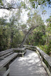 Tree Arching Above Boardwalk