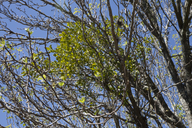 Tree Branches and Leaves at USF Botanical Gardens