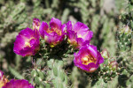Tree Cholla Flowers