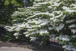Tree Covered in White Flowers