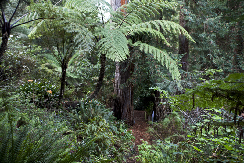 Tree Fern in Front of a Redwood