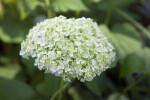 Tree Hydrangea Flower