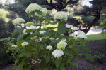 Tree Hydrangea Plant