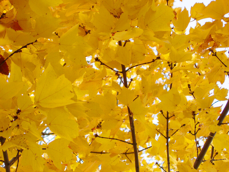 Tree Limbs of Bright Yellow Leaves