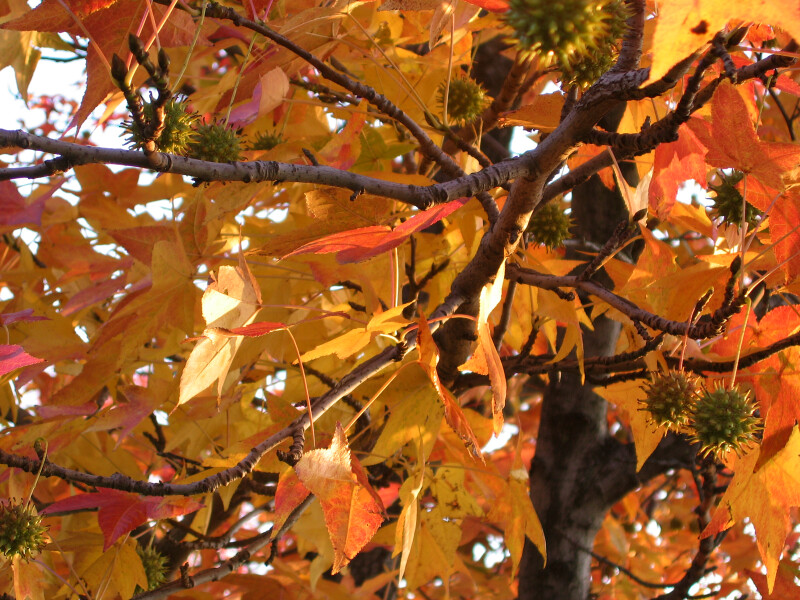 Tree Limbs with Yellow Autumn Leaves