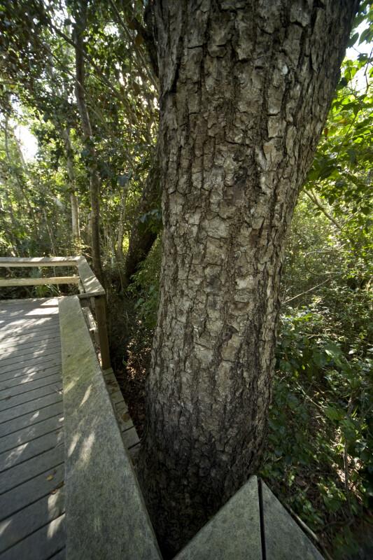 Tree Near Boardwalk