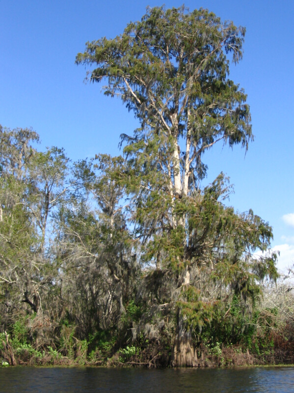 Tree on Hillsborough River Bank