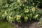Tree Peony at the Arnold Arboretum of Harvard University