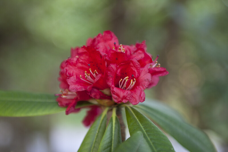 Tree Rhododendron Red Flowers