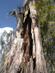 Tree Trunk on Hillsborough River