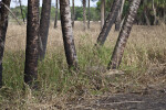 Tree Trunks Amongst Grass at Myakka River State Park