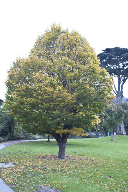 Tree With Green & Yellow Leaves
