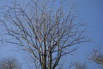 Tree with Multiple Bare Branches at Boyce Park