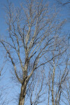 Tree with Multiple Bare Branches Leaning Slightly Towards the Right